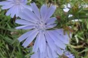 Nyborgcastle bloem
